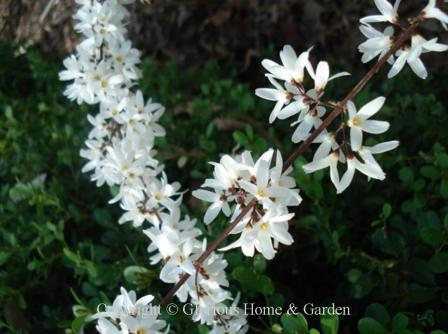 Spring flowering shrubs abeliophyllumdistichumg mightylinksfo