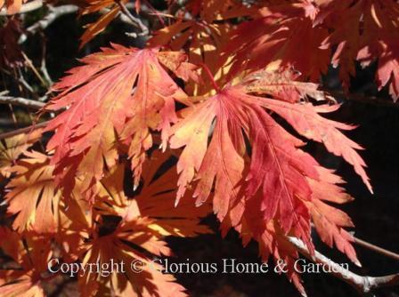 Acer japonicum 'Aconitiolium'