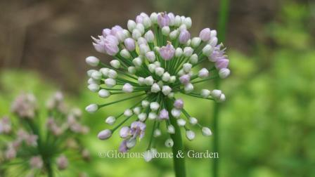 Allium senescens 'Pink Planet'