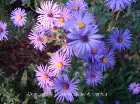 Aster novae-angliae 'English Countryside'