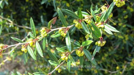 Berberis julianae 'Spring Glory'