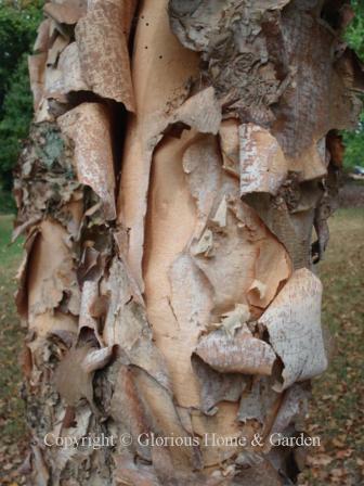 Betula nigra, river birch