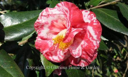 Camellia japonica 'Guilio Nuccio Variegated'
