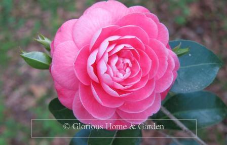 Camellia japonica 'Jacks'