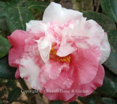 Camellia japonica 'Jan's Chance'