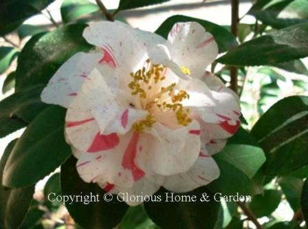 Camellia japonica 'Rebel Yell'