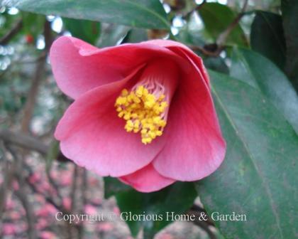 Camellia japonica 'Unryu'