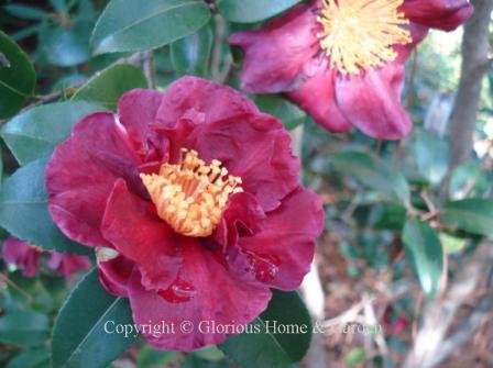 Camellia sasanqua 'Midnight Lover'