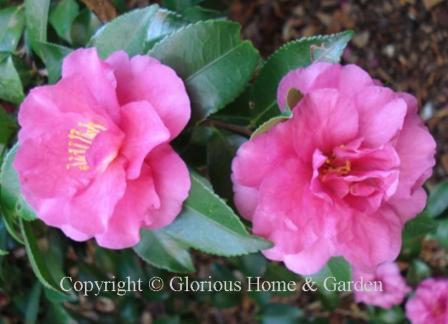 Camellia 'Sparkling Burgundy'