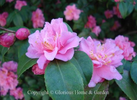 Camellia x 'Fragrant Pink'