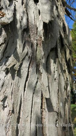 Carya ovata bark