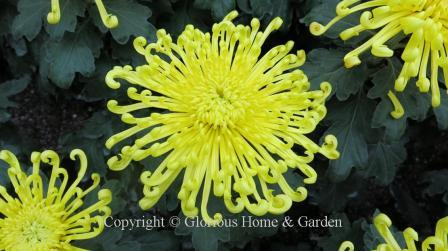 Chrysanthemum x morifolium 'Lava'