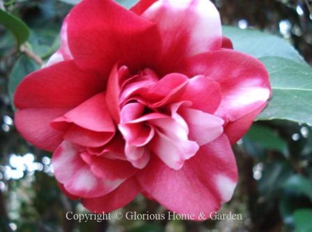 Camellia japonica 'Governor Mouton'