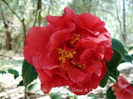Camellia japonica 'Kramer's Supreme'
