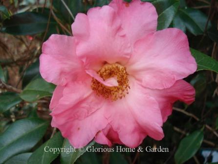 Camellia japonica 'W. C. Wyatt'