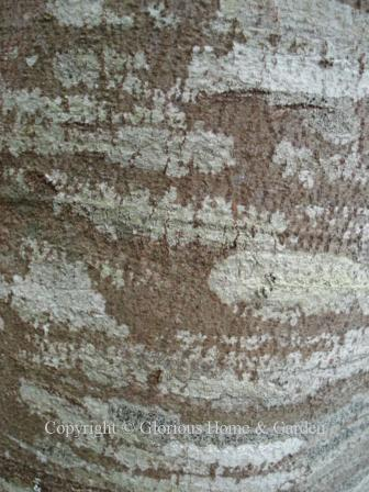 Cladrastis kentukea, American yellowwood
