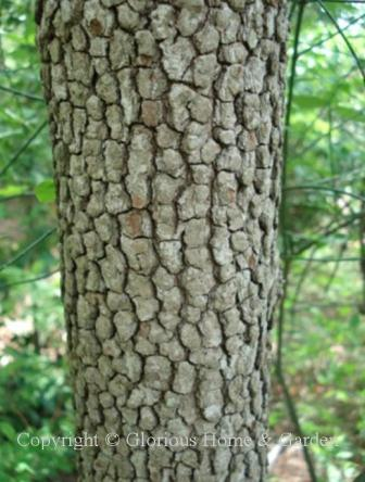 Cornus florida, flowering dogwood bark