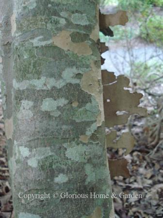Cornus kousa bark