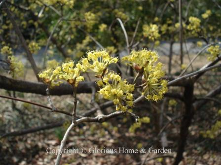 Cornus officinalis, Cornel dogwood