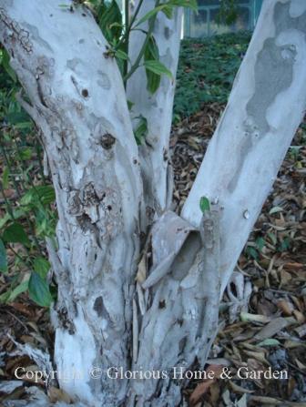 Cornus wilsoniana bark