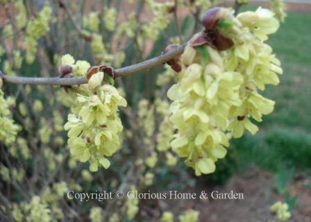 Corylopsis sinensis var. sinensis