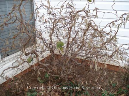 Corylus avellana bark