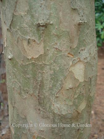 Crataegus marshallii, parsley hawthorn bark