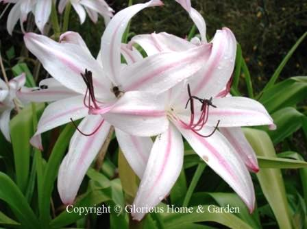 Crinum x digweedii 'Royal White'