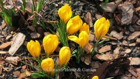 Crocus chrysantha 'Dorothy'