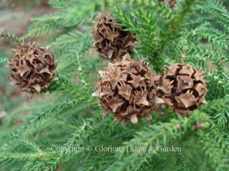 Cryptomeria japonica cone