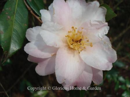 Camellia vernalis 'Star-Above-Star'
