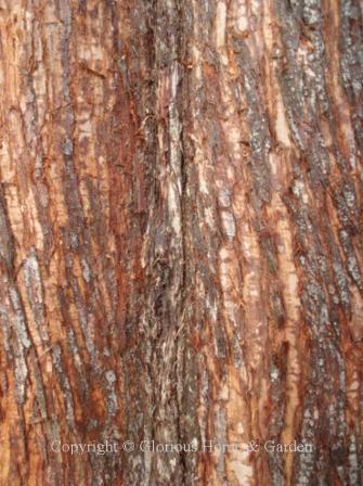 Metasequoia gyptostroboides, dawn redwood bark