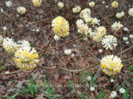 Edgeworthia chrysantha, paperbush