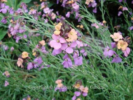 Erysimum linifolium 'Jenny Brook'