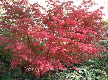 Autumn Color Shrubs