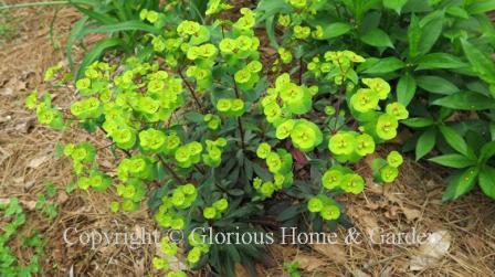 Euphorbia amygdaloide 'Ruby Glow'