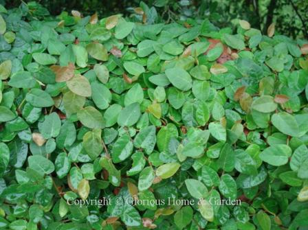 Evergreen vines for Evergreen climbing plants for privacy