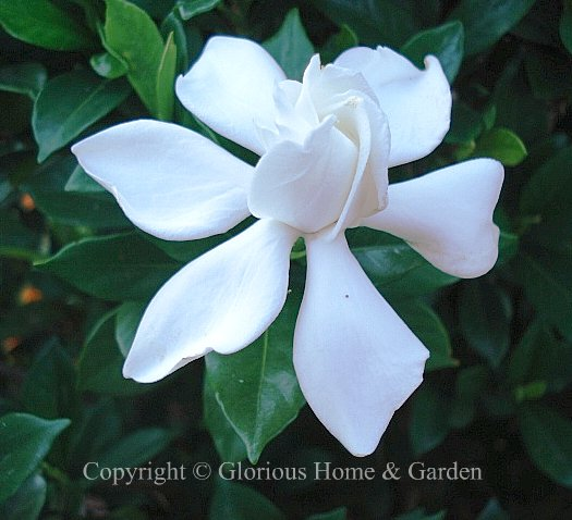Gardenia jasminoides 'August Beauty'