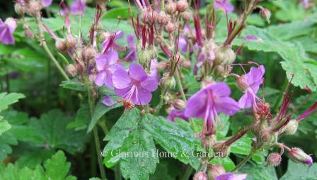 Geranium macrorrhizzum