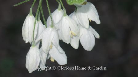 Halesia tetraptera
