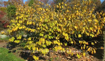 Hamamelis mollis 'Princeton Gold'