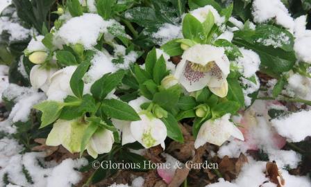 Helleborus x hybridus 'Conny' in snow