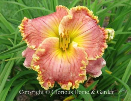 Hemerocallis x 'Edith Sliger'