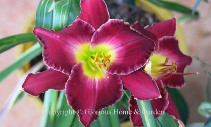 Hemerocallis x 'Francis of Assisi'