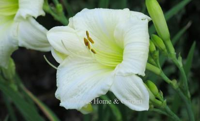 Hemerocallis x 'Joan Senior'