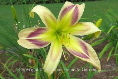Hemerocallis x 'Persian Pattern'
