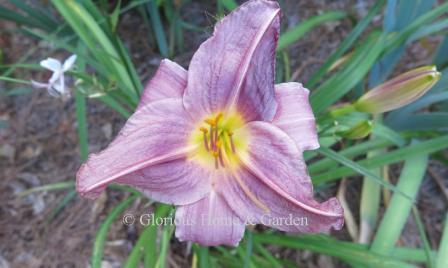 Hemerocallis 'Prairie Blue Eyes'