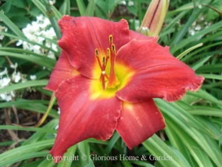 Hemerocallis x 'Red Rooster'