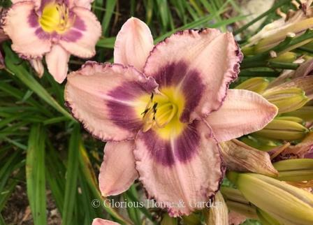 Hemerocallis 'Royal Braid'