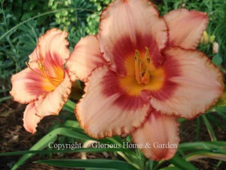Hemerocallis x 'Strawberry Candy'